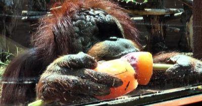 Contro il caldo, gli oranghi ello zoo di Roma mangiano il ...