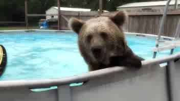 Se l'orso scopre il bagno in piscina