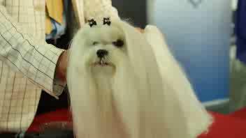 E' un maltese il cane più bello d'Italia