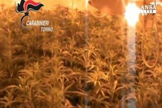 Nel Torinese un super-laboratorio per la cannabis