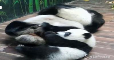 Auguri ai 3 gemelli di panda unici al mondo: festa grande ...