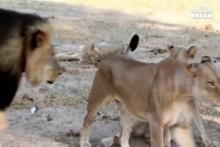Zimbabwe, identificato killer del leone Cecil