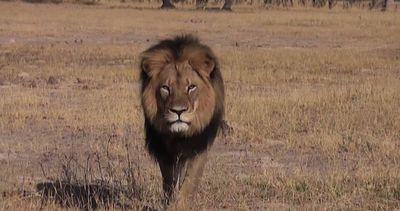 Cecil, il re della foresta ucciso da un dentista di ...