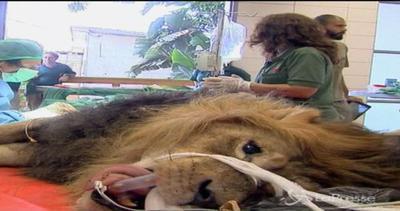 Operato leone in Israele: asportato tumore grosso come palla da tennis