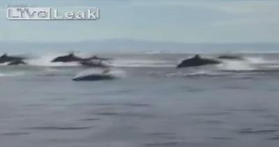 Nuoto sincronizzato.. va  'in onda'  l'invasione dei delfini