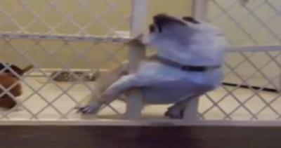Cani ingegnosi cercano la libertà: fuga dalla gabbia