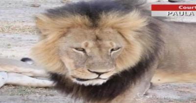 Il leone Jericho, fratello di Cecil, è vivo