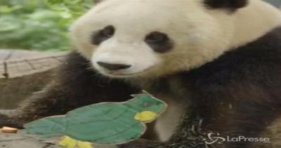 Panda gigante compie tre anni: in regalo una torta di ...
