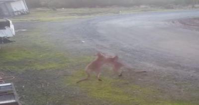 Incontro di box fra wallaby, il ring è il cortile di una ...