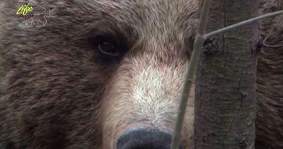 Sì alla convivenza uomo-orso bruno, il progetto di Wwf ...