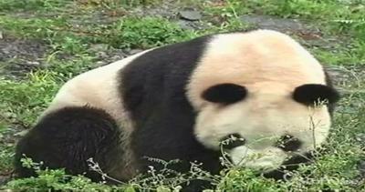 Ecco i nonni panda, 20 anni e non sentirli