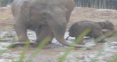 Mamma elefante e i piccoli se la spassano nel fango