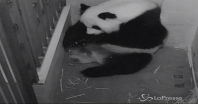 Lutto allo Zoo di Washington: è morto uno dei panda ...