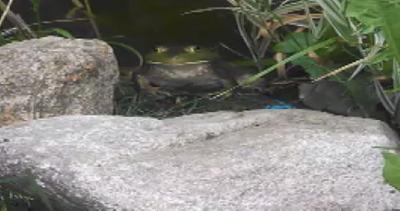 Timida rana toro fa colazione con i vermi