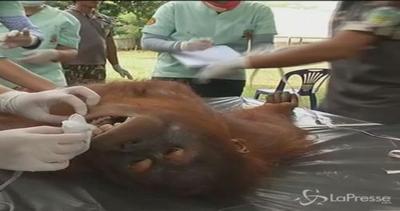 Thailandia, controlli medici per oranghi: dal dottore prima ...