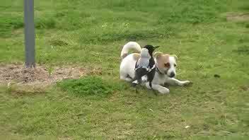 Il cane e la gazza ladra, l'amicizia non conosce confini