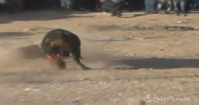 Dieci feriti durante una corsa dei tori in Perù