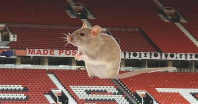 Man Utd nei guai: l'Old Trafford è infestato dai topi