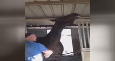 Cavallo gigante vuole i grattini? Il padrone non può ...
