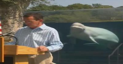 Il governatore parla ma la vera star è il beluga
