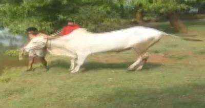 Mucca sportiva si tuffa nel lago insieme al padrone