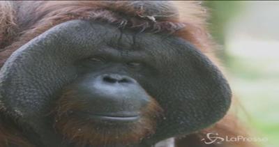 L'orango Jacky compie 38 anni: festa grande allo zoo di Bali