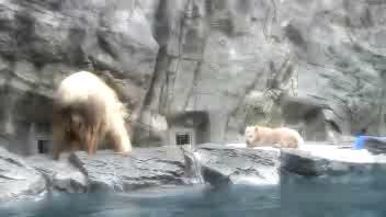 Salvataggio al volo per mamma orsa