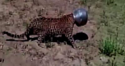 India, leopardo finisce con la testa infilata in una pentola