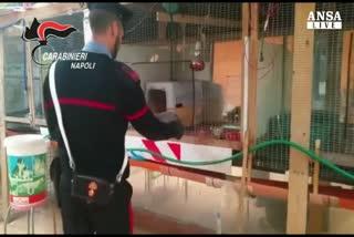 Animali in gabbie-lager e miniarsenale in casa, arrestato