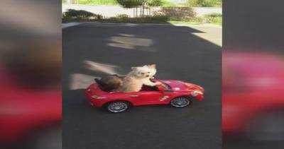 Il cane Daisy e il piccolo Oliver sull'auto giocattolo: ...