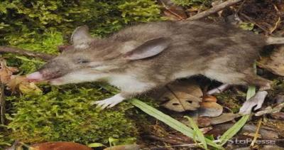 Scoperto un nuovo roditore: ecco a voi il topo-maiale