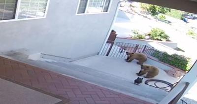 Due orsi in giardino. Niente paura: ci pensa il bulldog