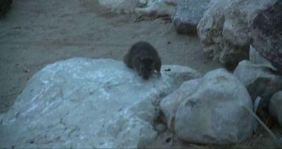 La spiaggia di Cannes invasa dai ratti dopo l'alluvione