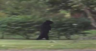 Un orso che cammina come un uomo o un uomo travestito da ...
