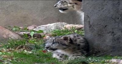 Lo zoo dell'Illinois si popola: nati due leopardi delle ...