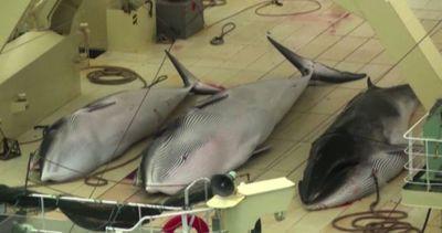 Balene a tavola, Tokyo rompe un tabù e lancia una nuova ...