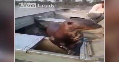 Lontra coraggiosa: il cibo lo va a prendere direttamente ...
