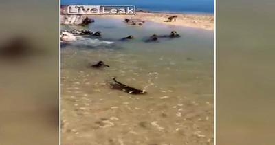 Relax al mare: ecco le scimmie nuotatrici