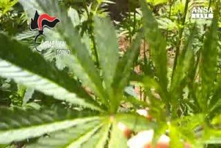 Microcamere per proteggere marijuana