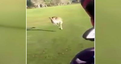 Canguro a caccia di golfisti: sali in auto!