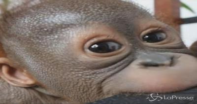 La nuova vita di Gito, il cucciolo di orango trovato quasi ...