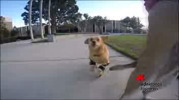 La corsa di Daisy, cagnolina disabile con le protesi