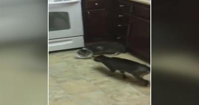Il gatto ha paura del collare e cammina all'indietro
