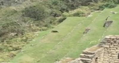 Perù, avvistato un orso tra le rovine del Machu Picchu