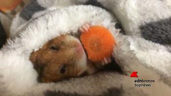 Il criceto sgranocchia una carota sotto le coperte